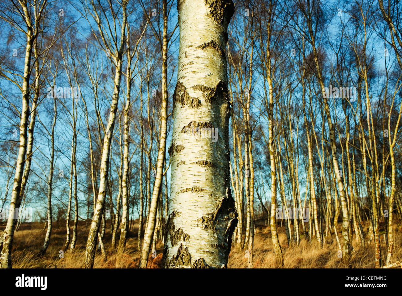 Silver birch trees in woodland on Iping Common, West Sussex, England on a fine sunny day with foreground bark detail - Stock Image