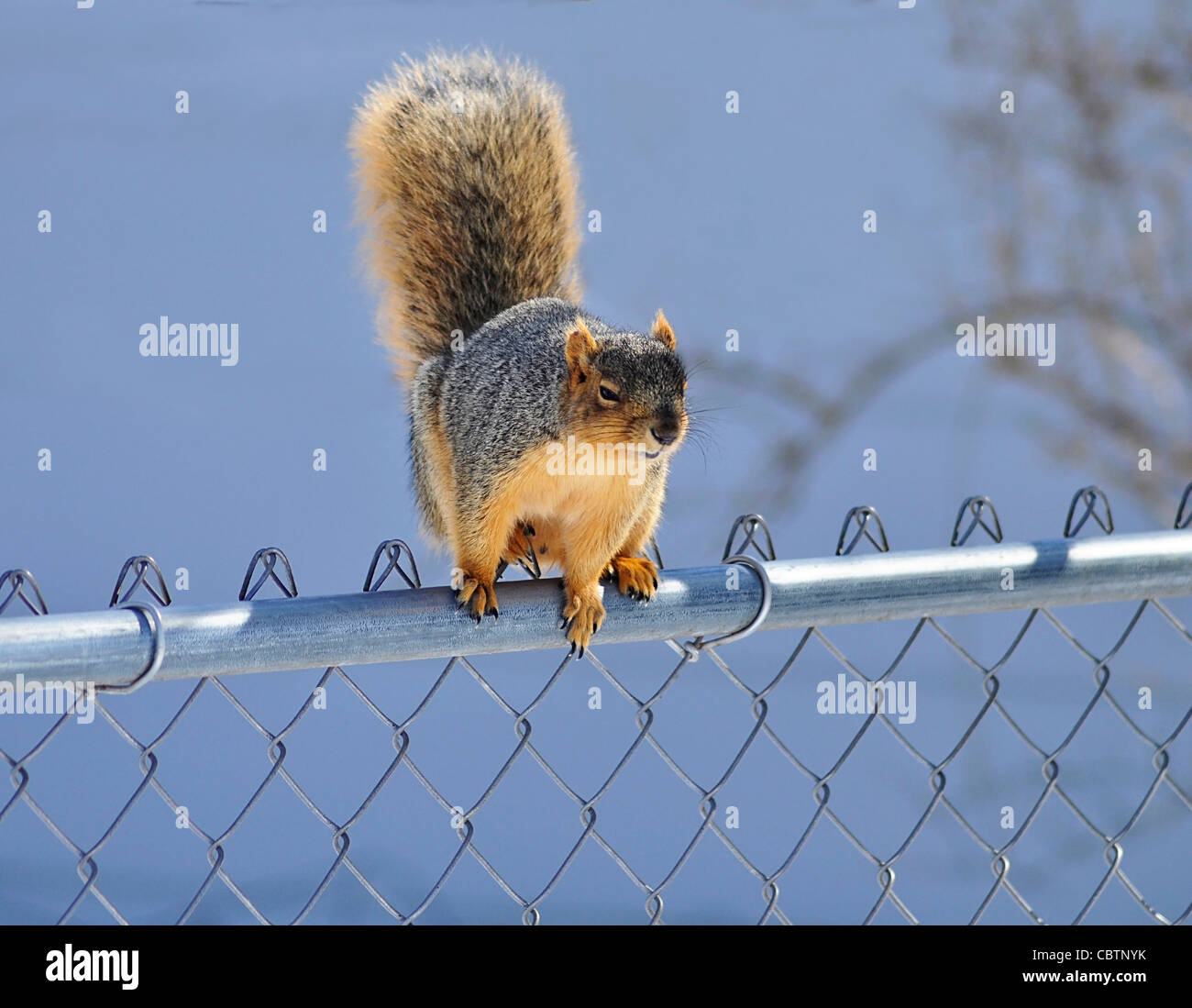Squirrel On Fence Stock Photos & Squirrel On Fence Stock Images - Alamy