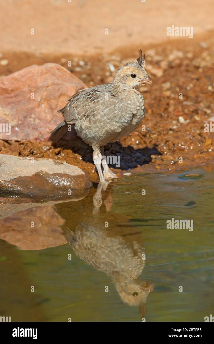 Gambel's Quail Callipepla gambelii Amado, Santa Cruz County, Arizona, United States 3 June Immature with reflection. - Stock Image