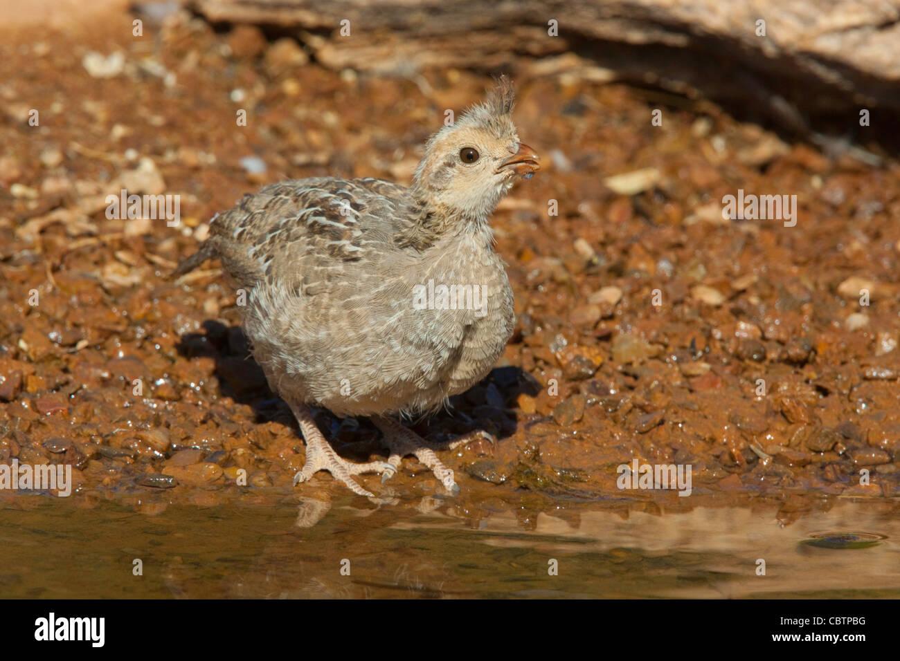 Gambel's Quail Callipepla gambelii Amado, Santa Cruz County, Arizona, United States 3 June Immature Phasianidae - Stock Image