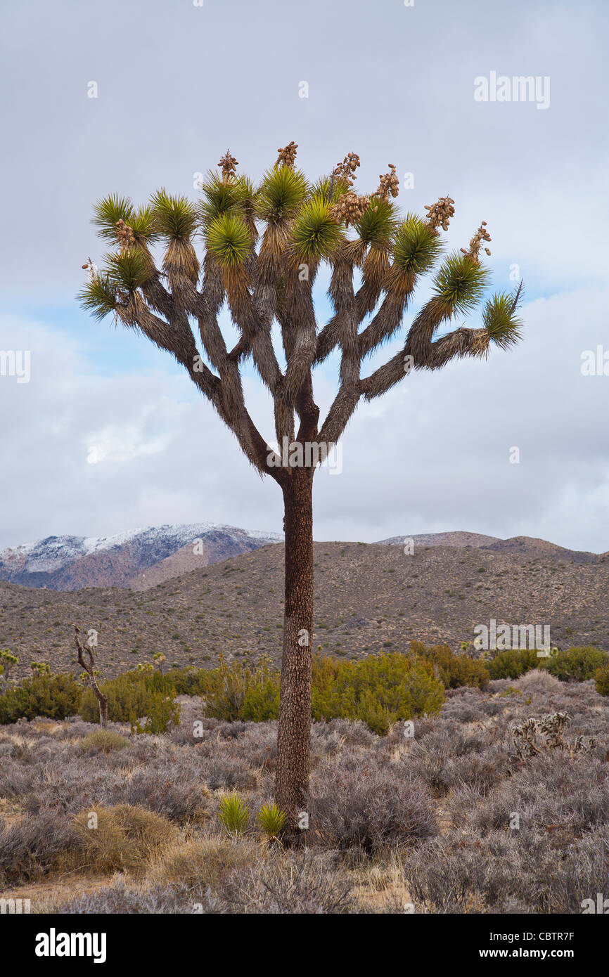 Joshua Tree stands against the clouds and the desert landscape in Joshua Tree National Park, California. - Stock Image