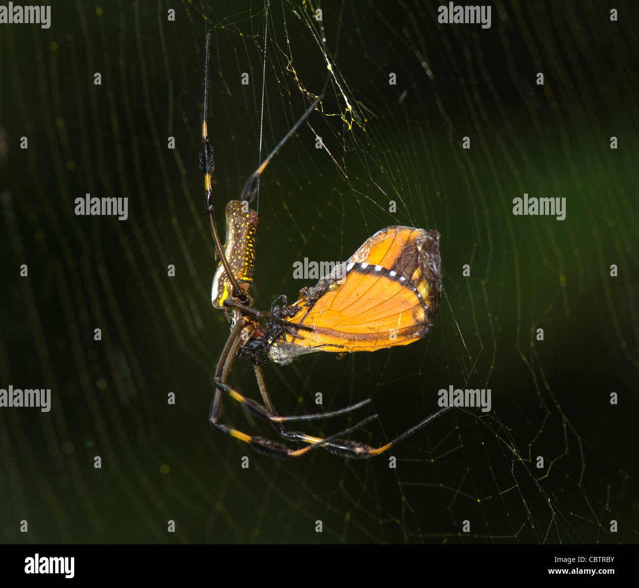Golden Orb Spider with Prey (Nephila clavipes), Costa Rica - Stock Image