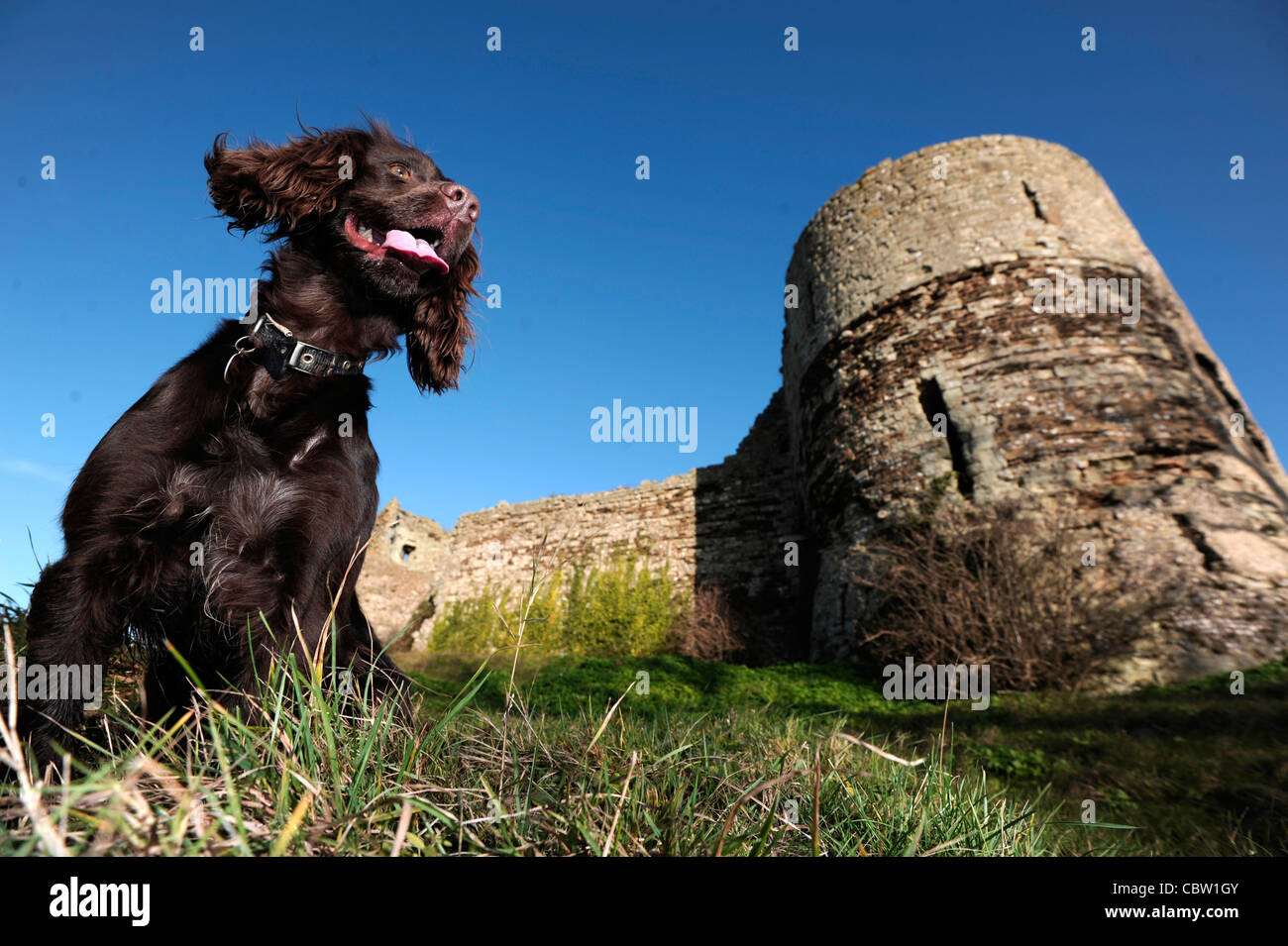 Working cocker spaniel at Pevensey Castle, East Sussex - Stock Image