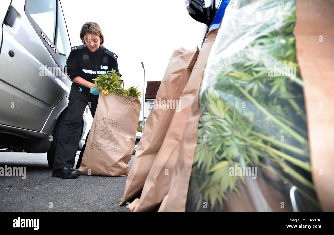 Cannabis is seized by Sussex Police in a raid on a drugs factory, Lewes, East Sussex - Stock Image
