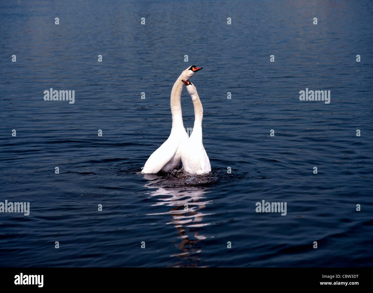 2 White Swans in Love Play on Lake ( Cygnus olor ) Stock Photo