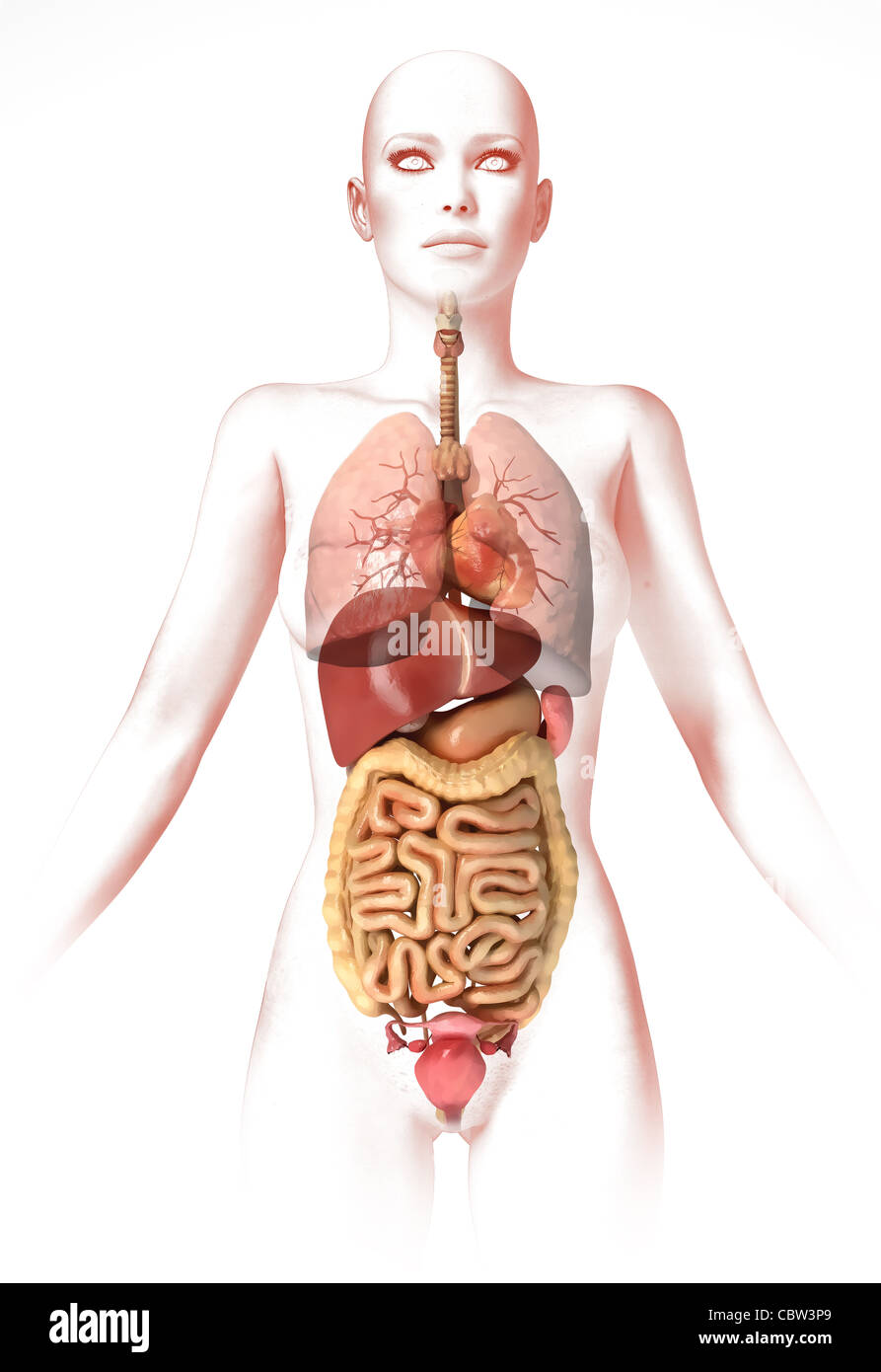 Woman body, with interior organs. Anatomy image, stylized look Stock ...