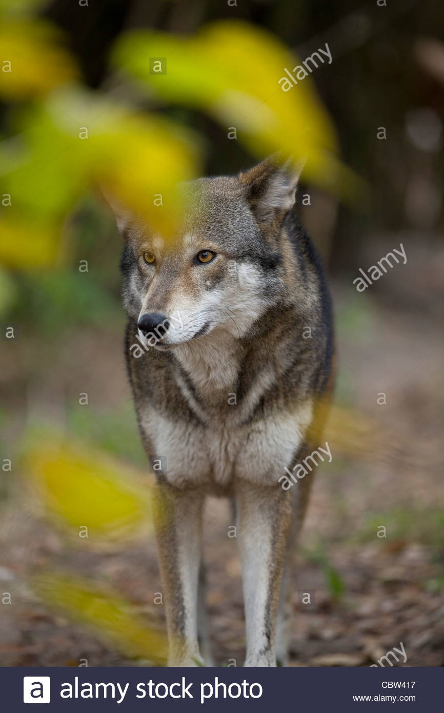 Wolf Stock Photos & Wolf Stock Images - Alamy