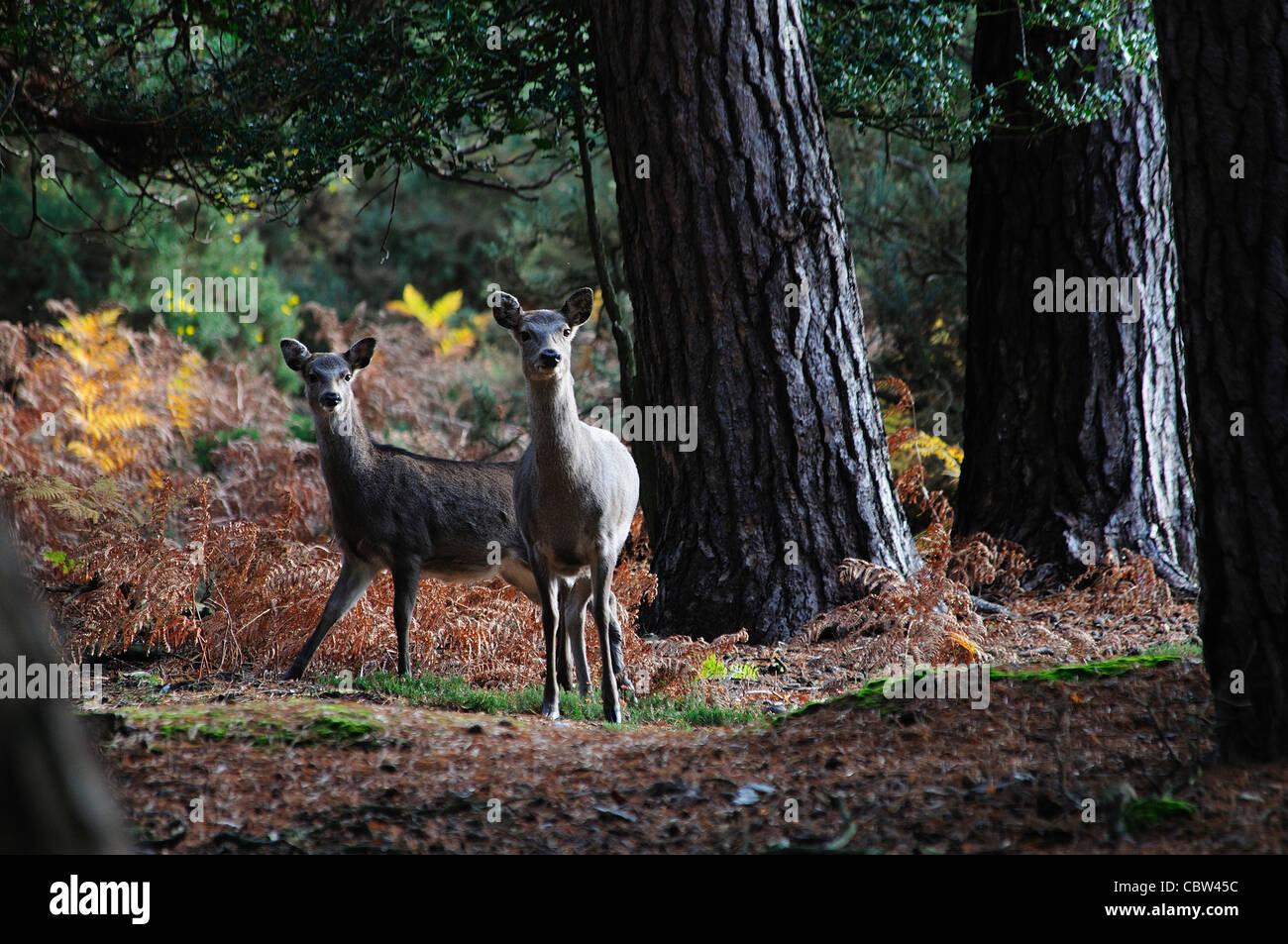 Twi sika deer on the heathland UK - Stock Image