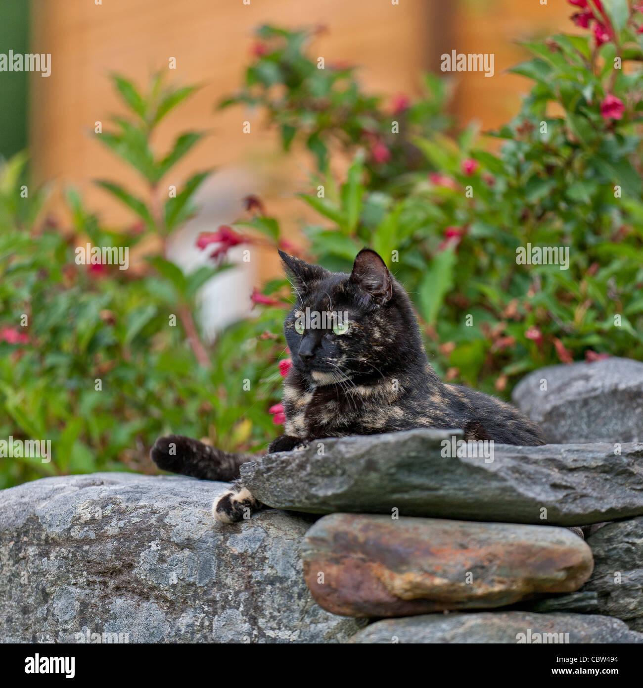 Calico Cat  Green eyes kitten - Stock Image