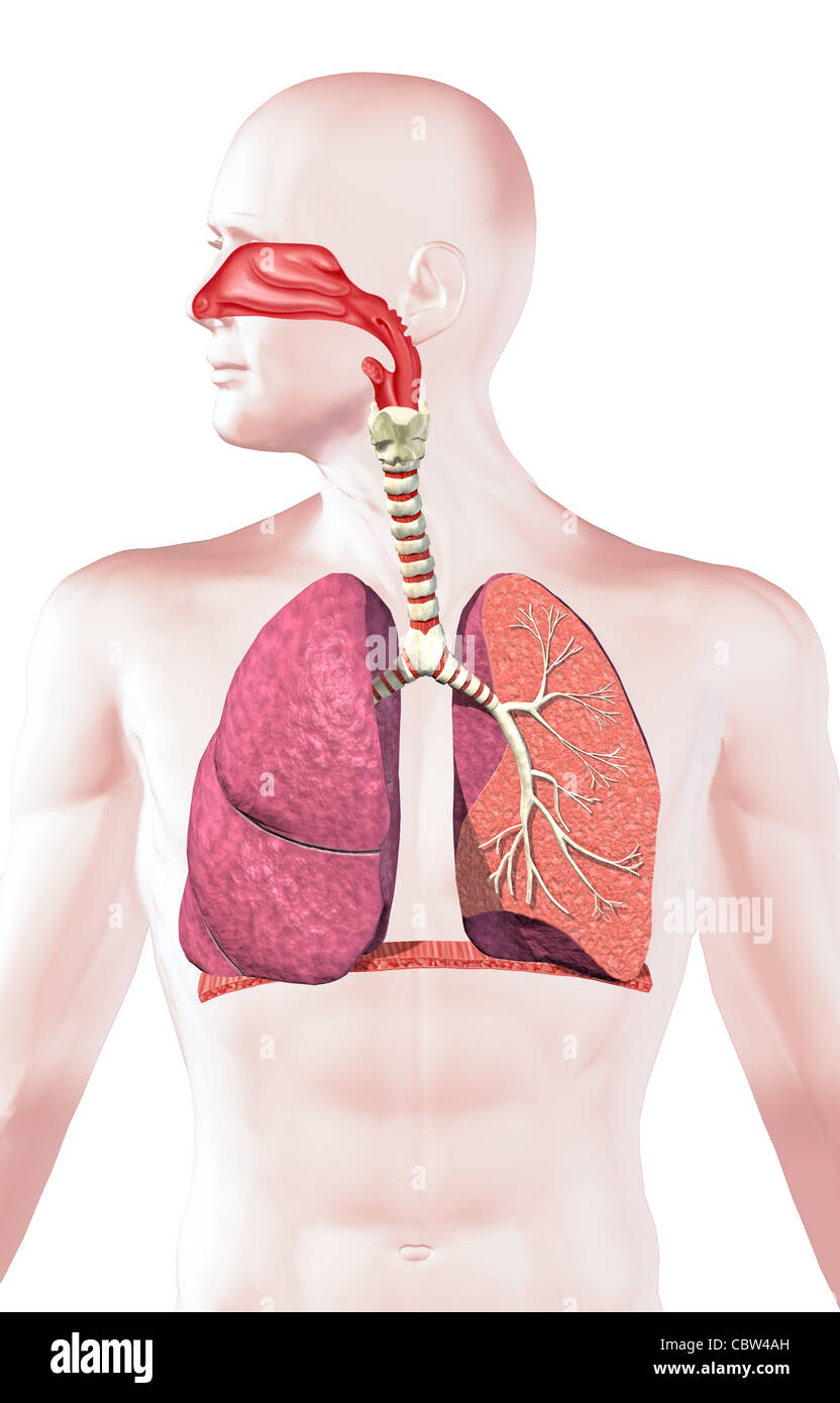Human respiratory system, cross section. On white background, with clipping path. - Stock Image