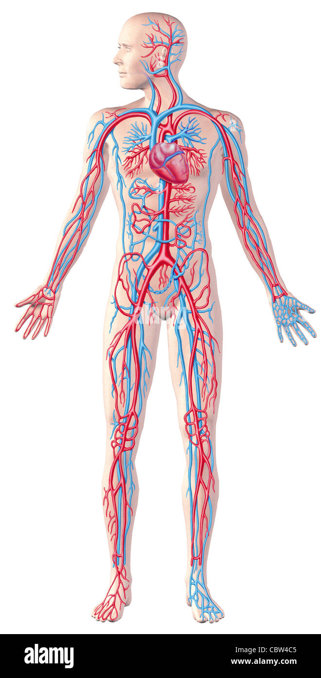 Human Circulatory System Full Figure Cutaway Anatomy Illustration