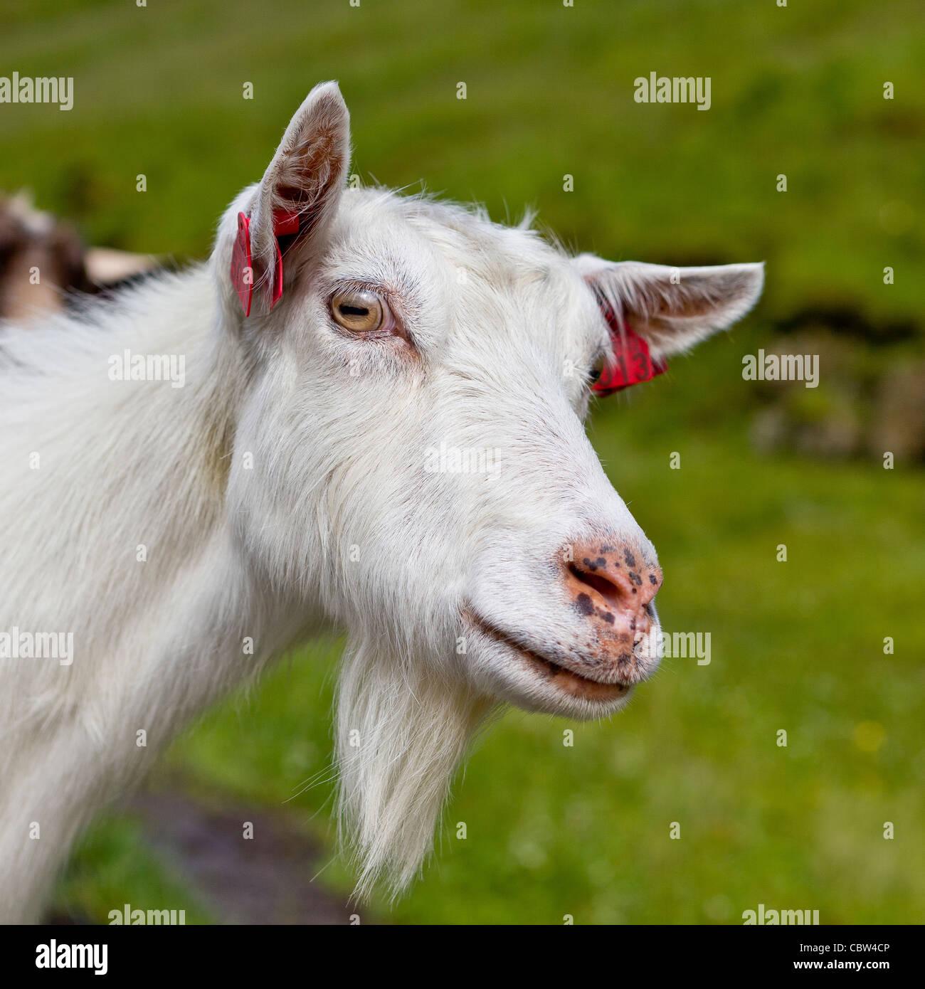 Goat, Vatnedalen, Norway - Stock Image