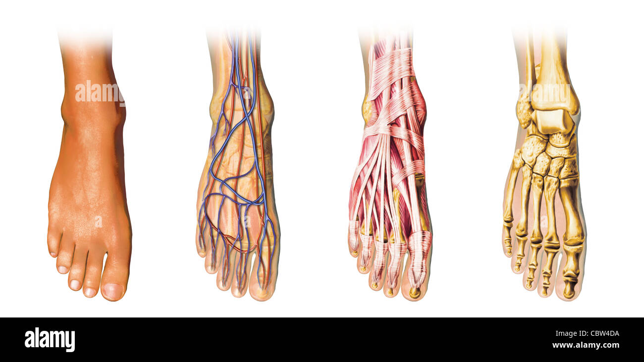 Ankle And Foot Skin Diagram - DIY Enthusiasts Wiring Diagrams •
