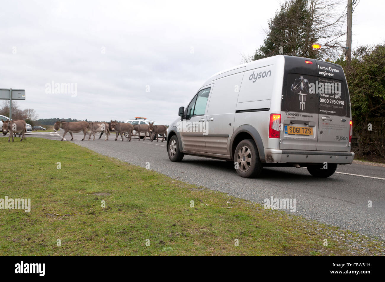 Donkeys holding up traffic in New Forest - Stock Image
