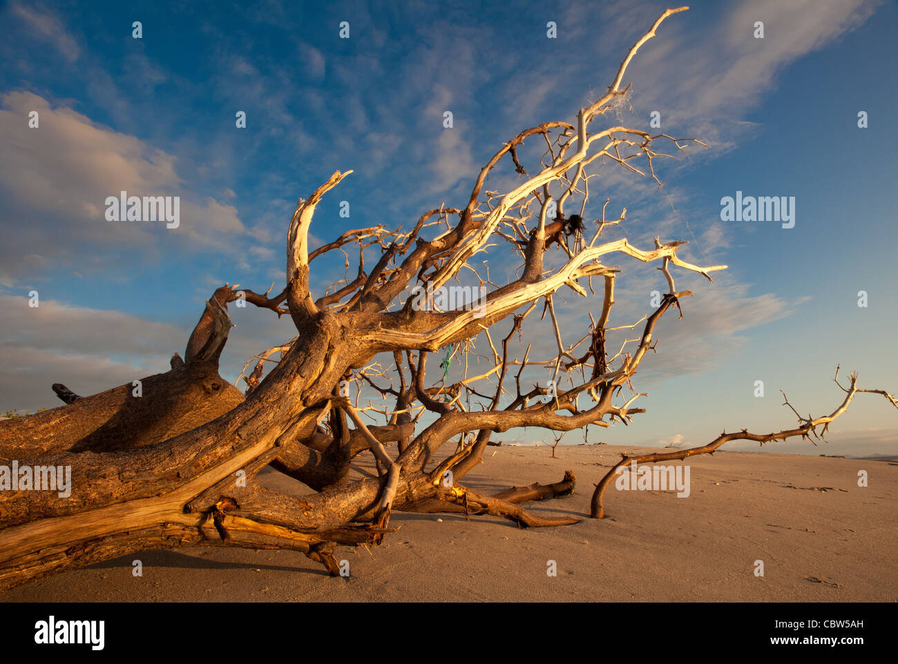 Stranded tree on the beach at Punta Chame, Pacific coast, Panama province, Republic of Panama. - Stock Image