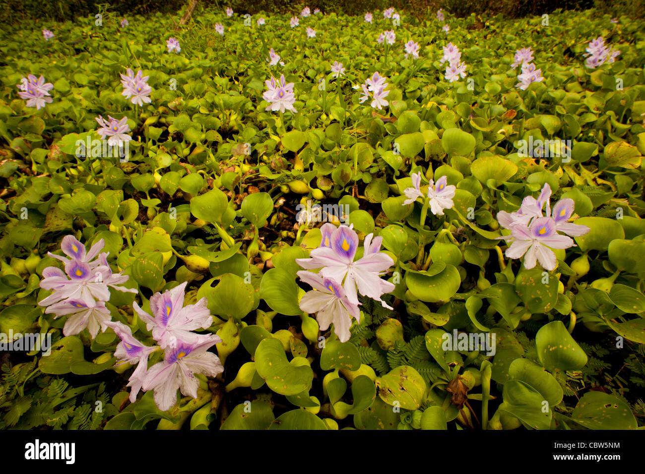Beautiful flowers at Refugio de vida Silvestre Cienaga las Macanas, Herrera province, Republic of Panama. Stock Photo