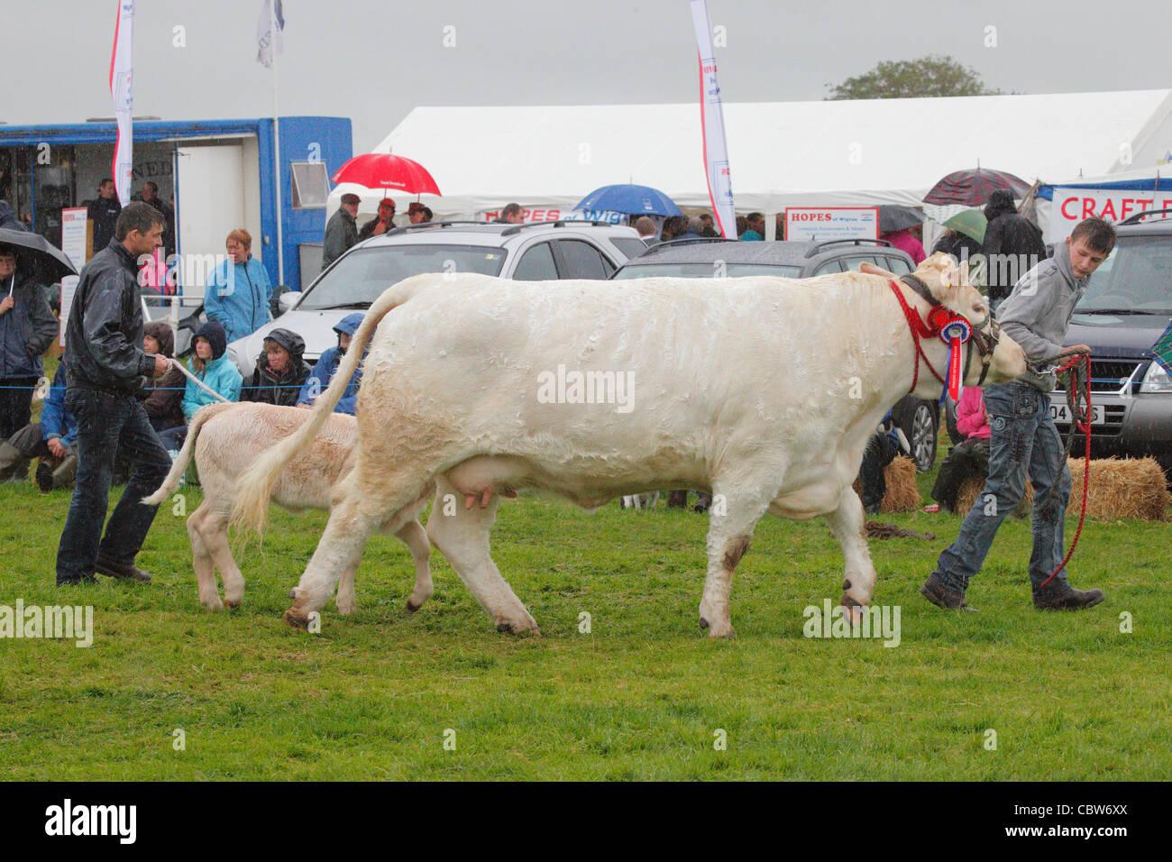 Charolais Show Cow
