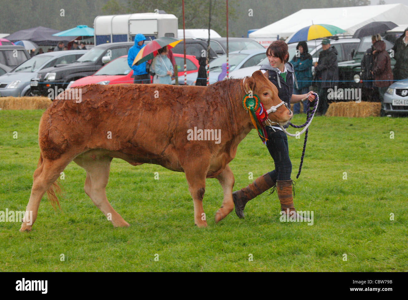Limousin bullock being lead by girl at Hesket Newmarket Agricultural Society Show near Calbeck in Cumbria, England. - Stock Image