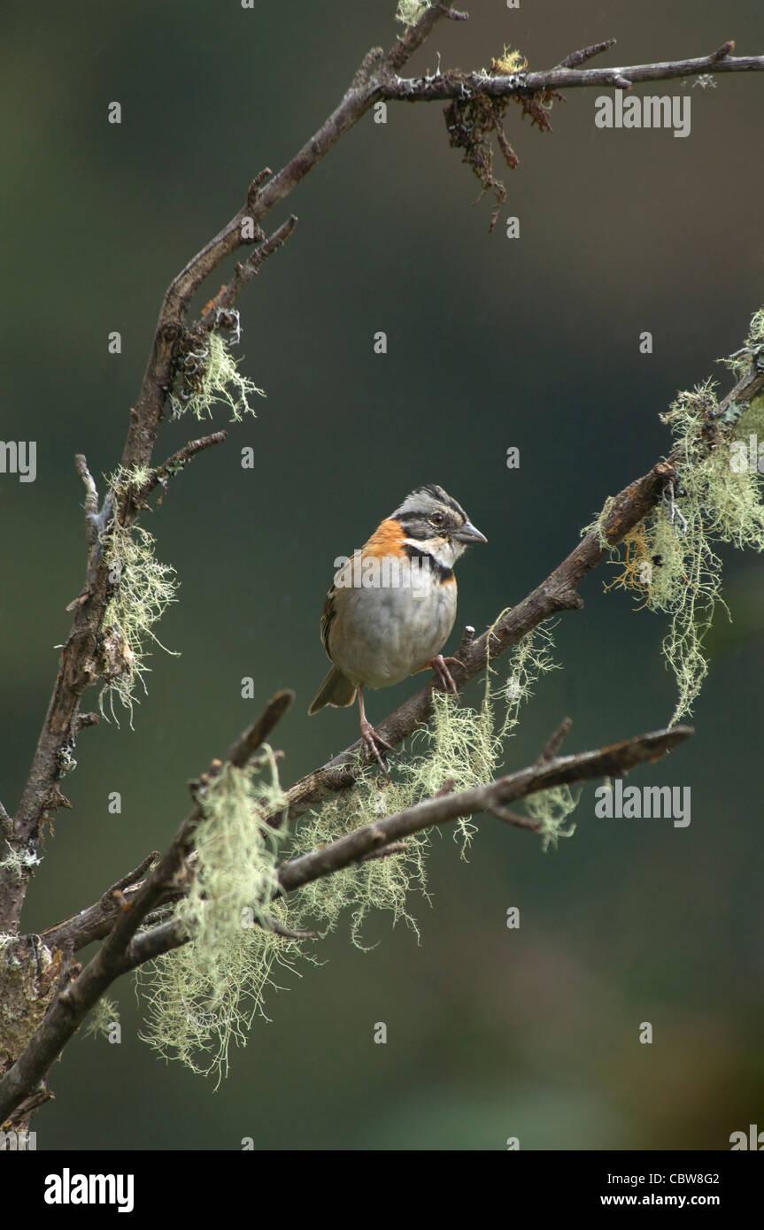 Rufous-collared Sparrow Zonotrichia capensis Costa Rica Stock Photo