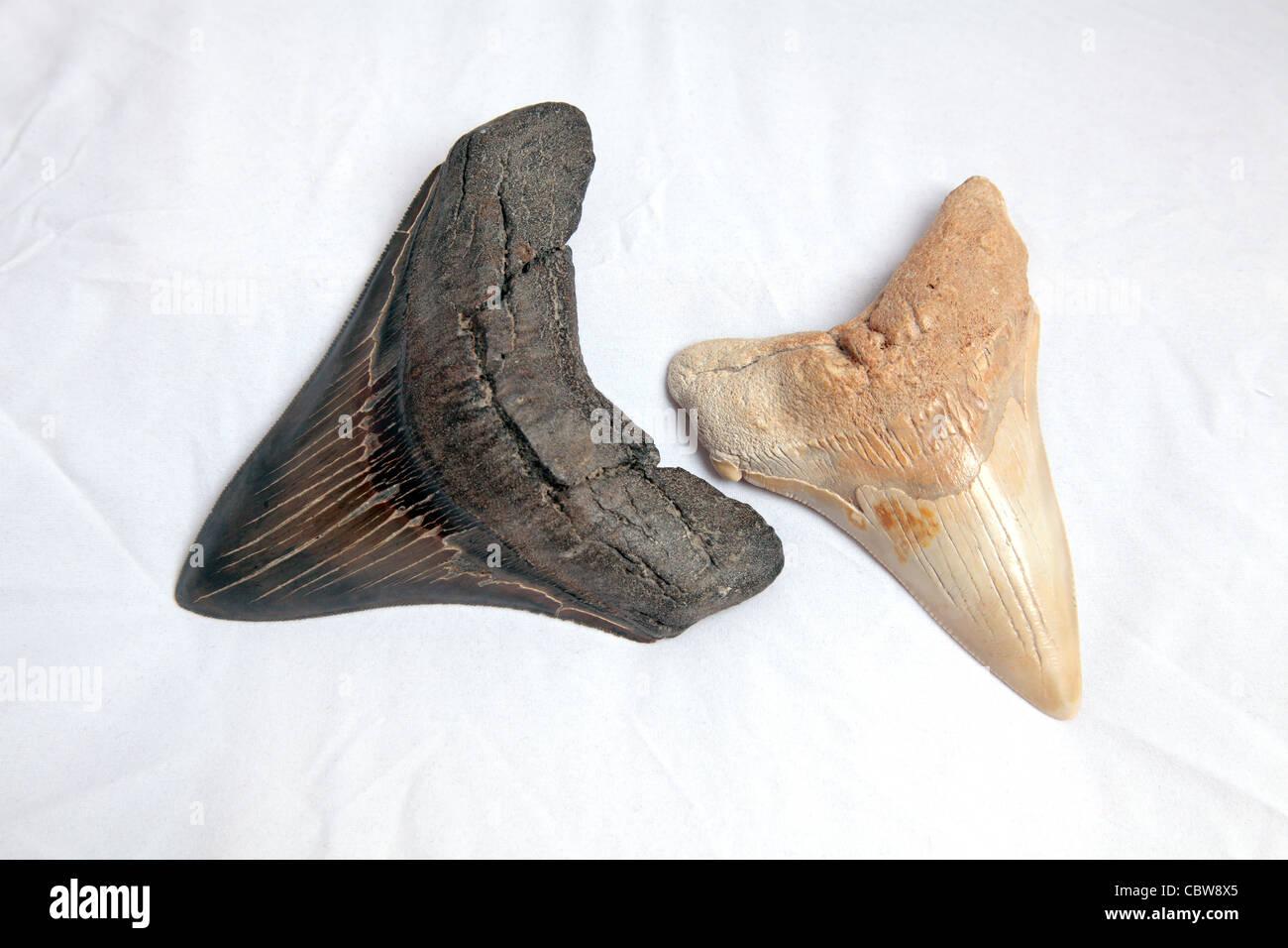 Megalodon shark teeth fossil - Stock Image