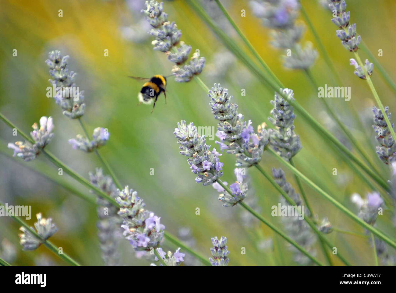 A bee explores a lavender bush in summer. - Stock Image