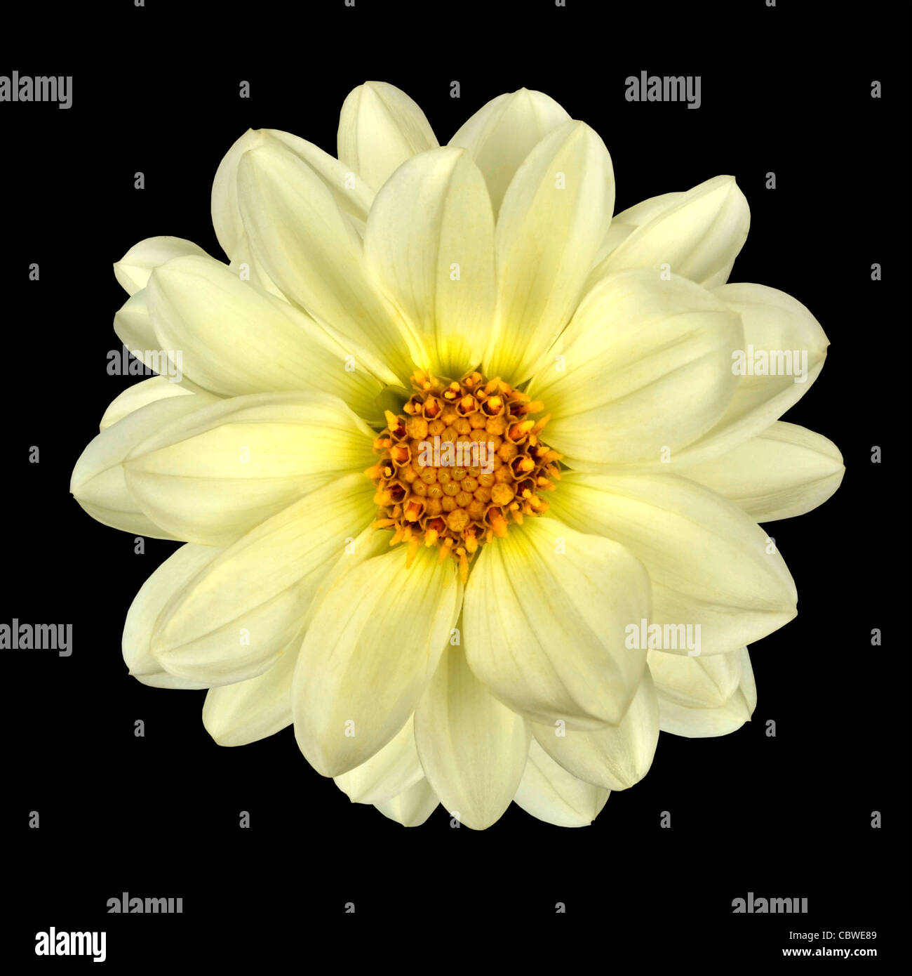 White Dahlia Flower With Yellow Center Isolated On Black Background