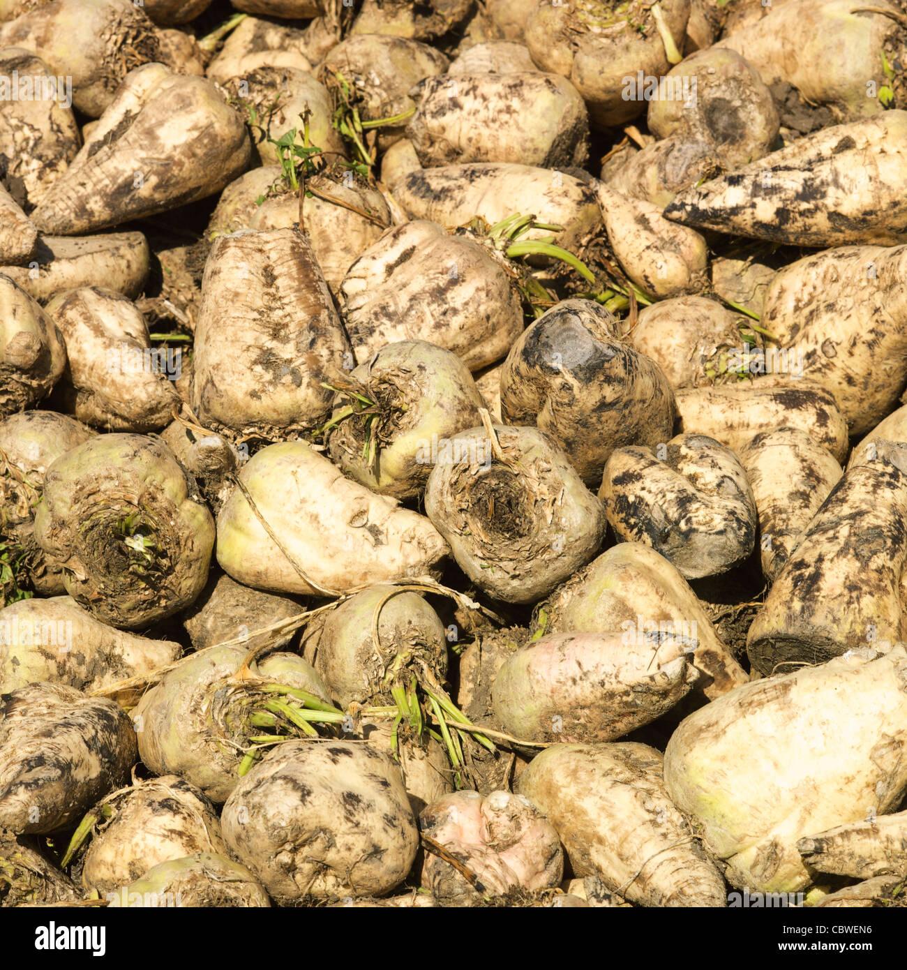 Sugar Beet (Beta vulgaris) Stock Photo