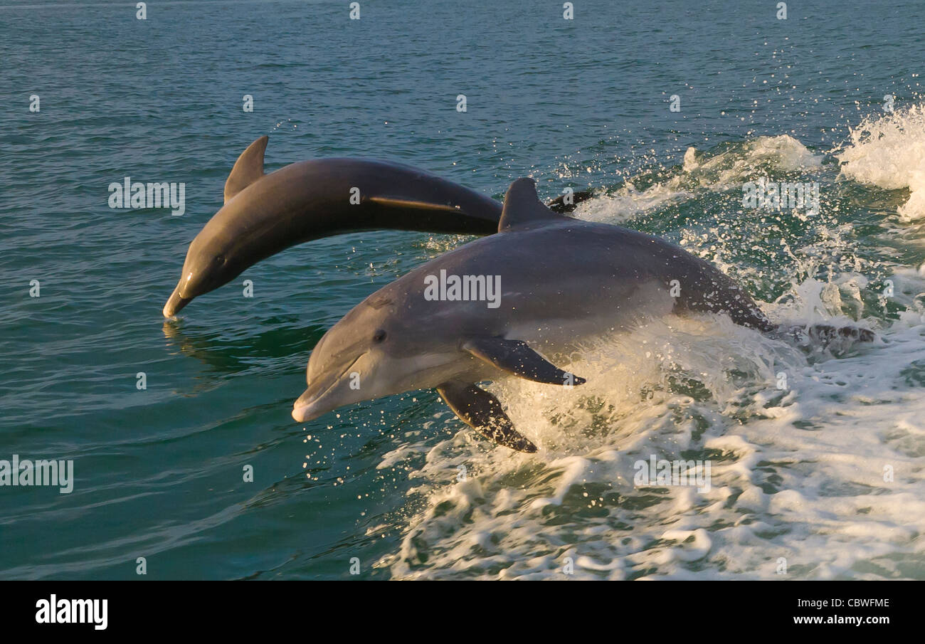 Bottlenose Dolphin jumping swimming in the waters off Gasparilla Island Florida Stock Photo