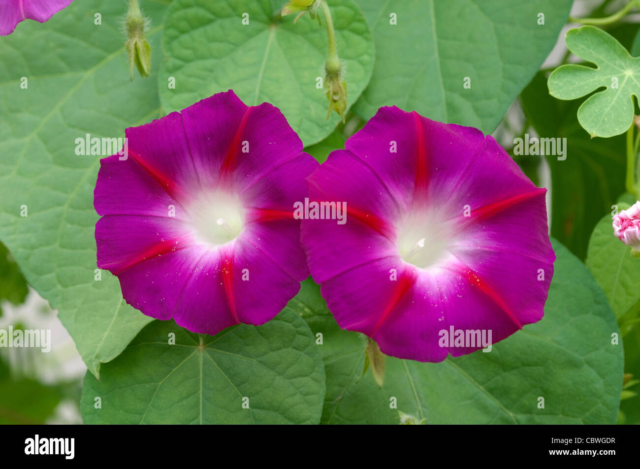 Morning Glory (Ipomoea tricolor). Two flowers. - Stock Image