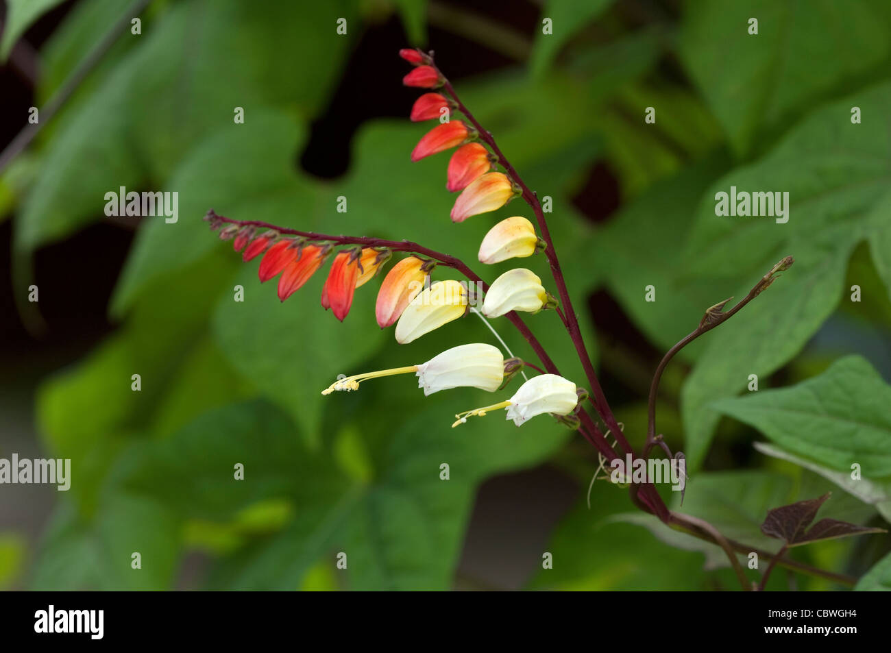 Fire Vine (Ipomoea lobata, Quamoclit lobata), flowers. - Stock Image