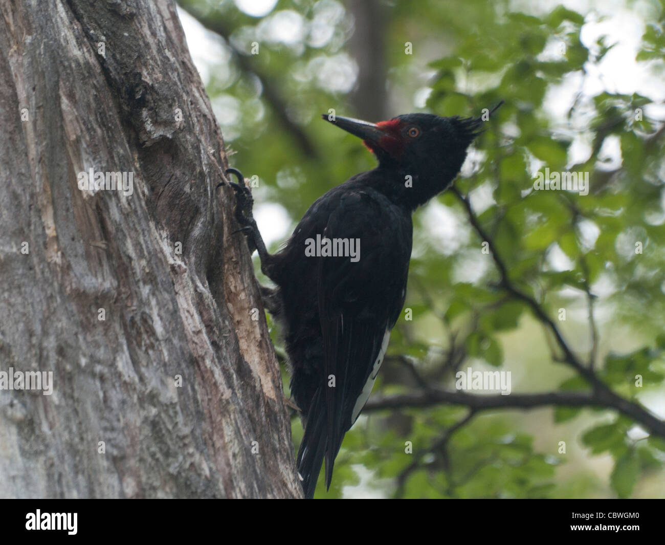 OLYMPUS DIGITAL CAMERA Photo of a Magellanic woodpecker (Campephilus magellanicus) female.  In your natural environment - Stock Image