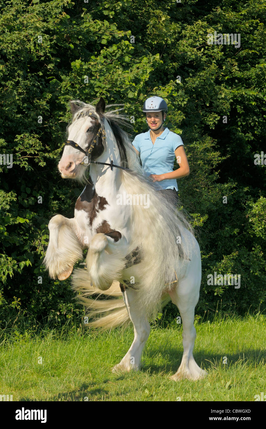 Young rider on back of a rearing Irish Tinker horse - Stock Image