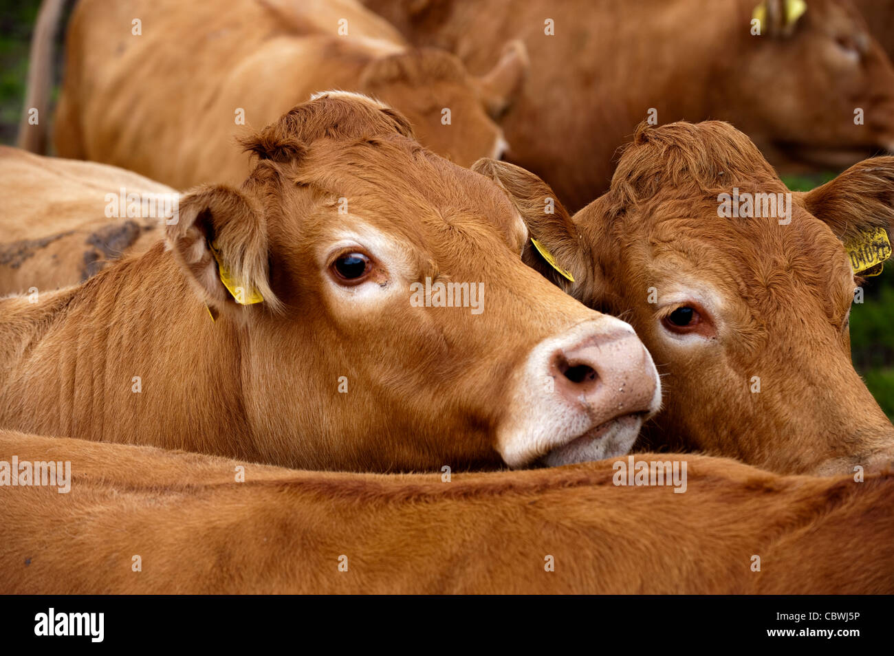 Herd of Limousin cattle. - Stock Image