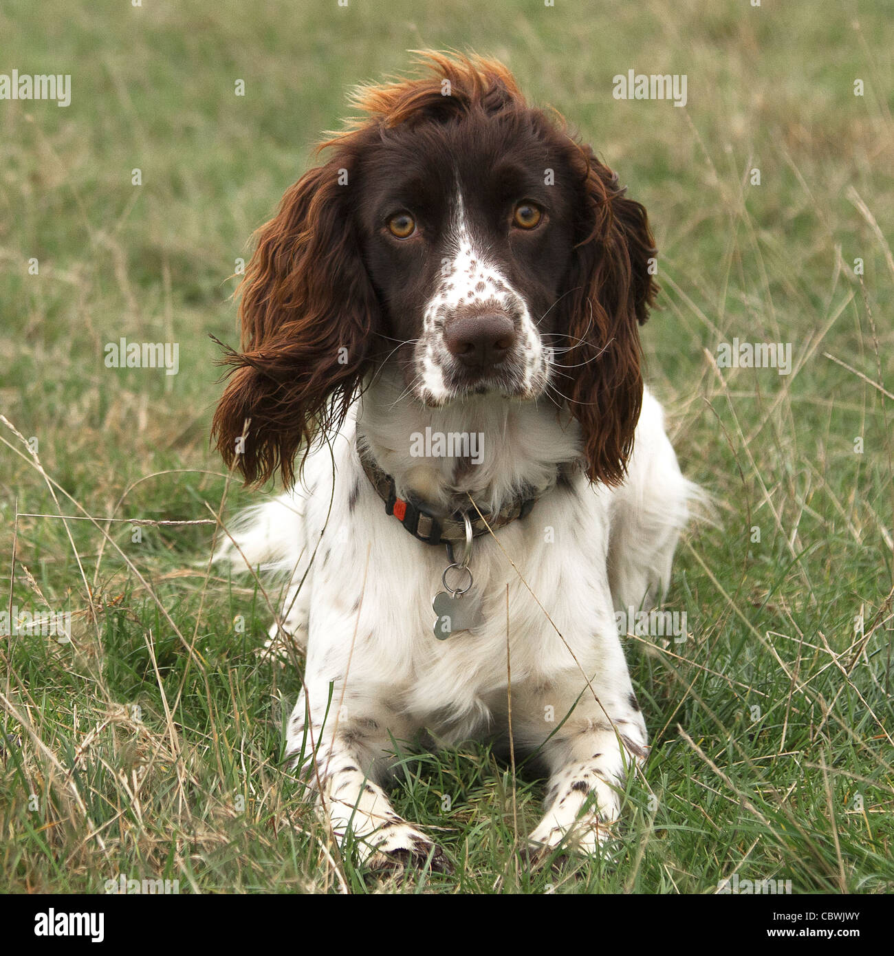 liver and white springer spaniel dog brown laying down stock photo