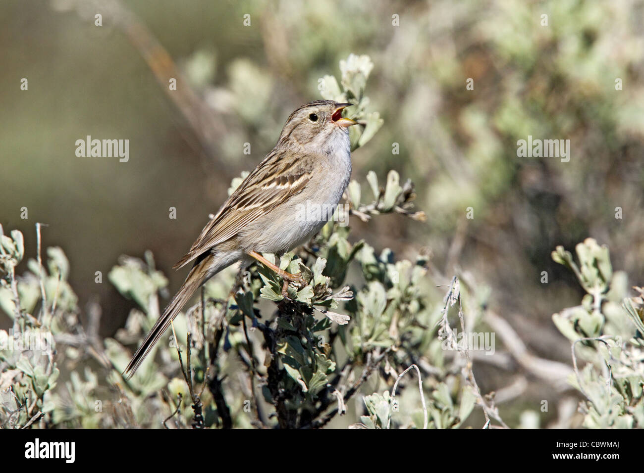 Brewer's Sparrow Spizella breweri Bodie, California, United States 13 May Adult Emberizidae - Stock Image