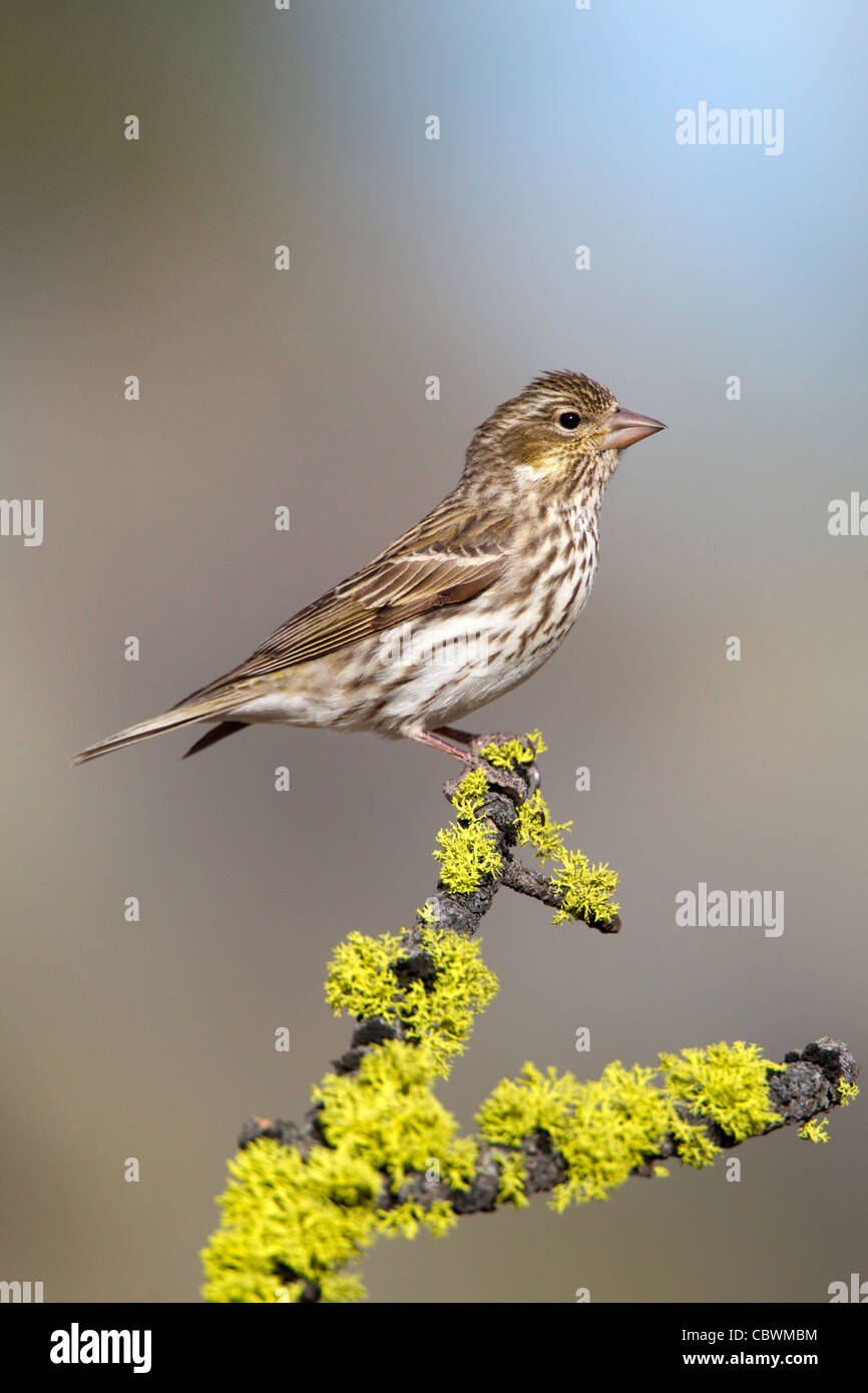Cassin's Finch Carpodacus cassinii Cabin Lake, Oregon, United States 5 May Adult Female Fringillidae - Stock Image