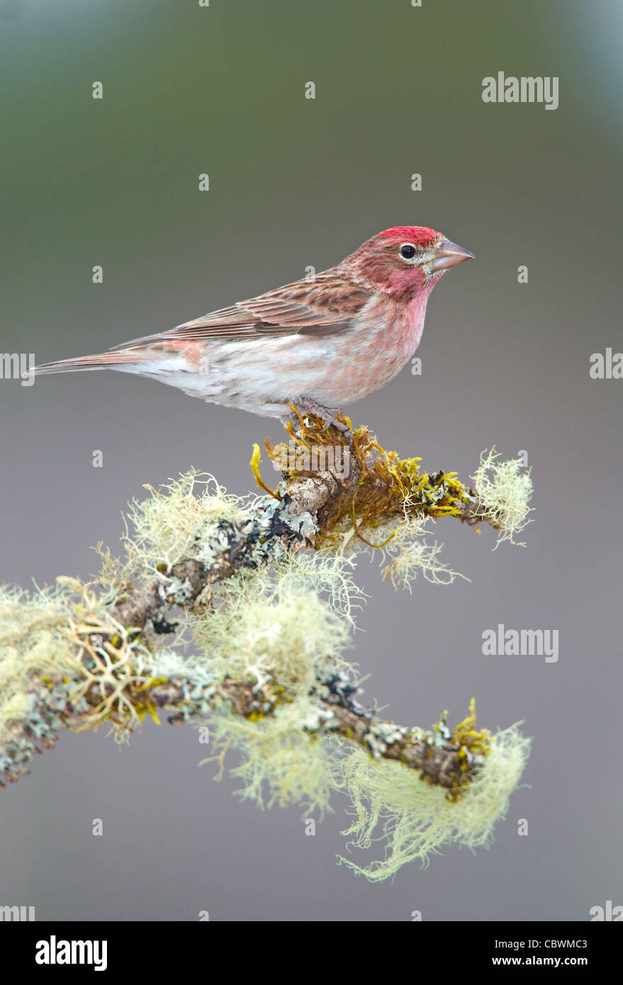 Cassin's Finch Carpodacus cassinii Cabin Lake, Oregon, United States 5 May Adult Male Fringillidae - Stock Image