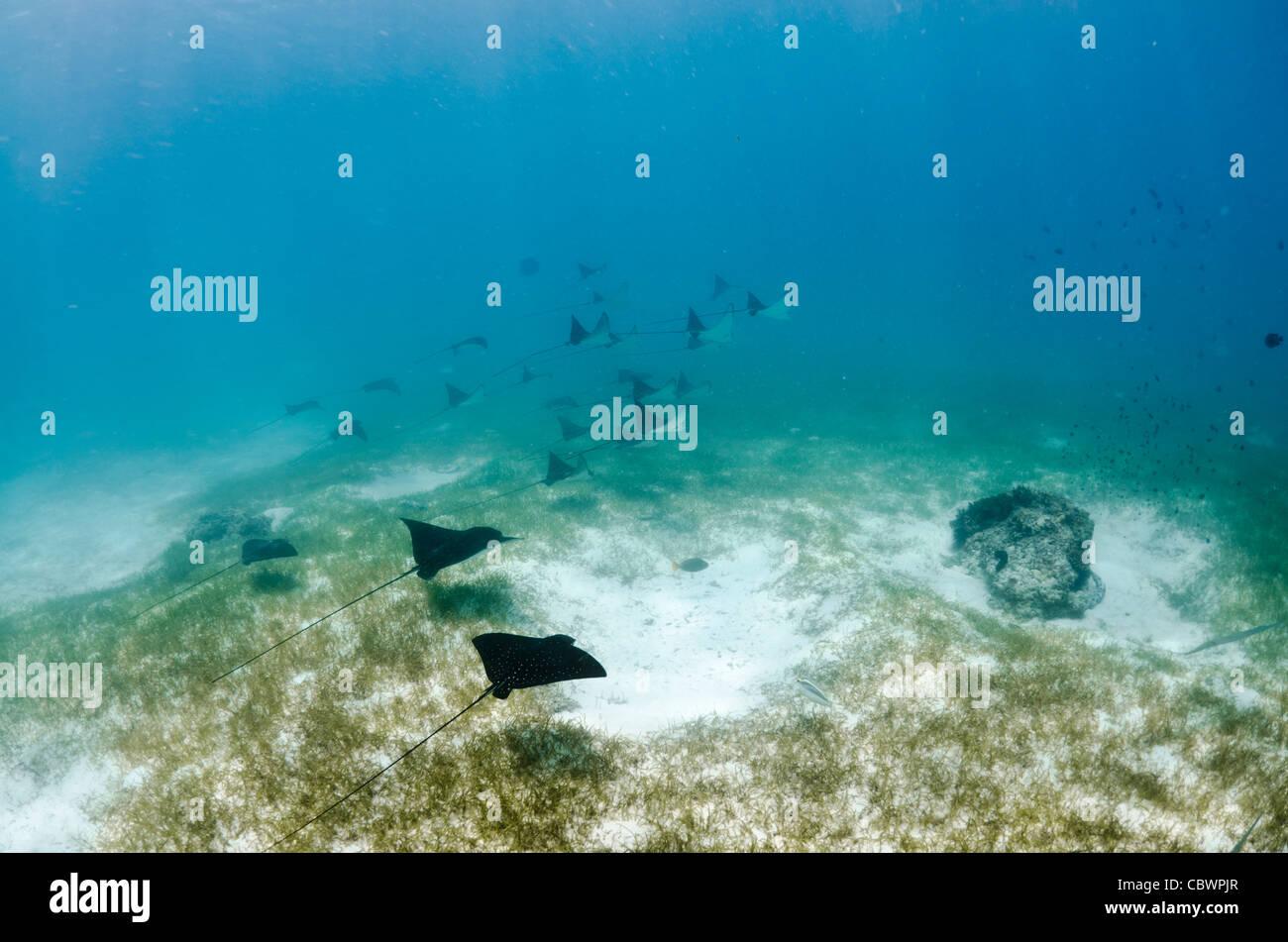 Schooling spotted eagle rays, Aetobatus narinari, Seychelles - Stock Image