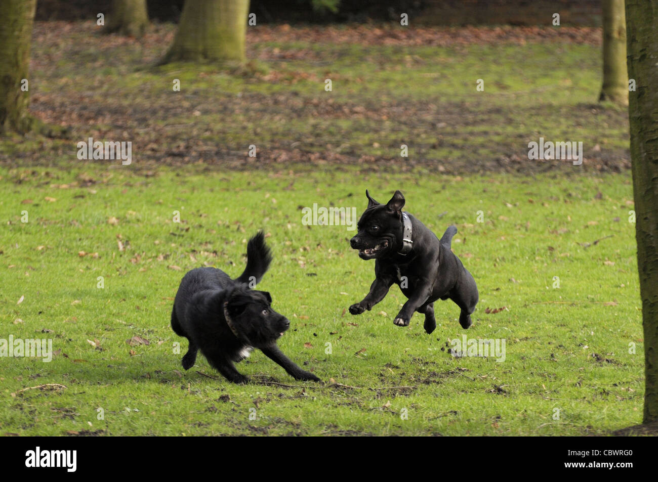 Two black dogs playing - Stock Image