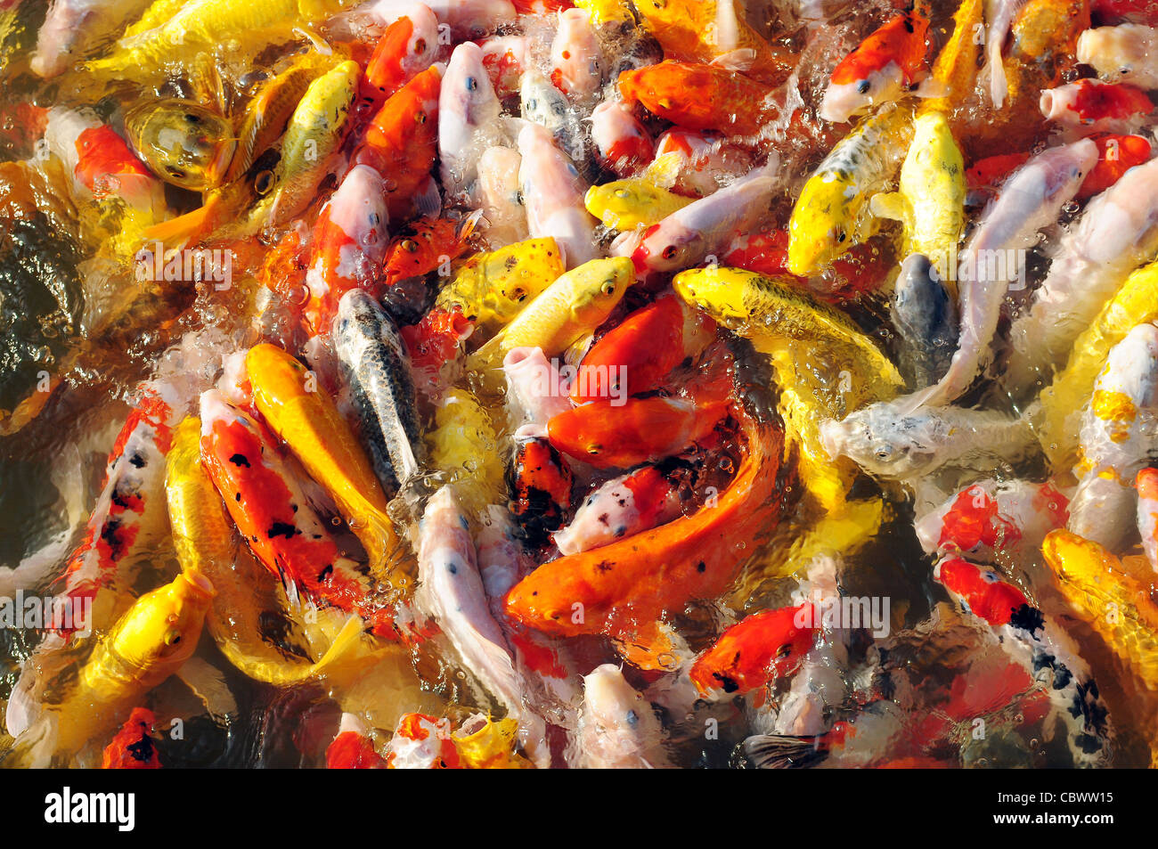 animal koi carp beautiful scale colorful color water fish biology ...