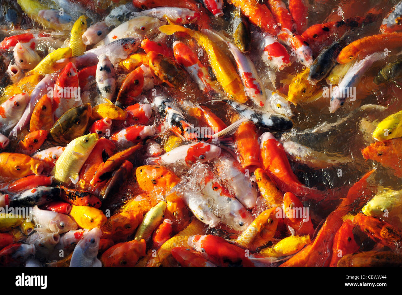 Looking At Koi Fish Stock Photos & Looking At Koi Fish Stock Images ...