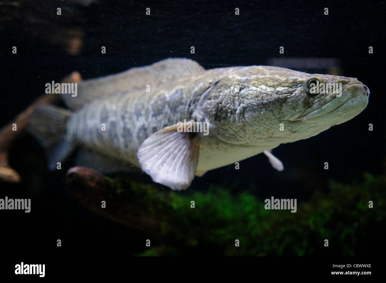 WASHINGTON DC, USA - Introduced from China, the snakehead fish has disrupted native fish and marine animals of the - Stock Image