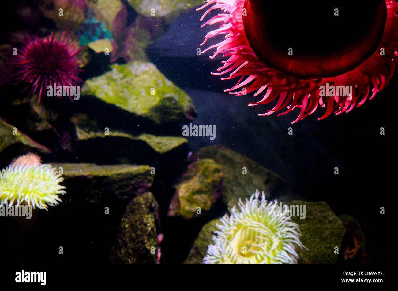 WASHINGTON DC, USA - Brightly colored sea anemones in an exhibit at Washington DC's National Aquarium. The National - Stock Image
