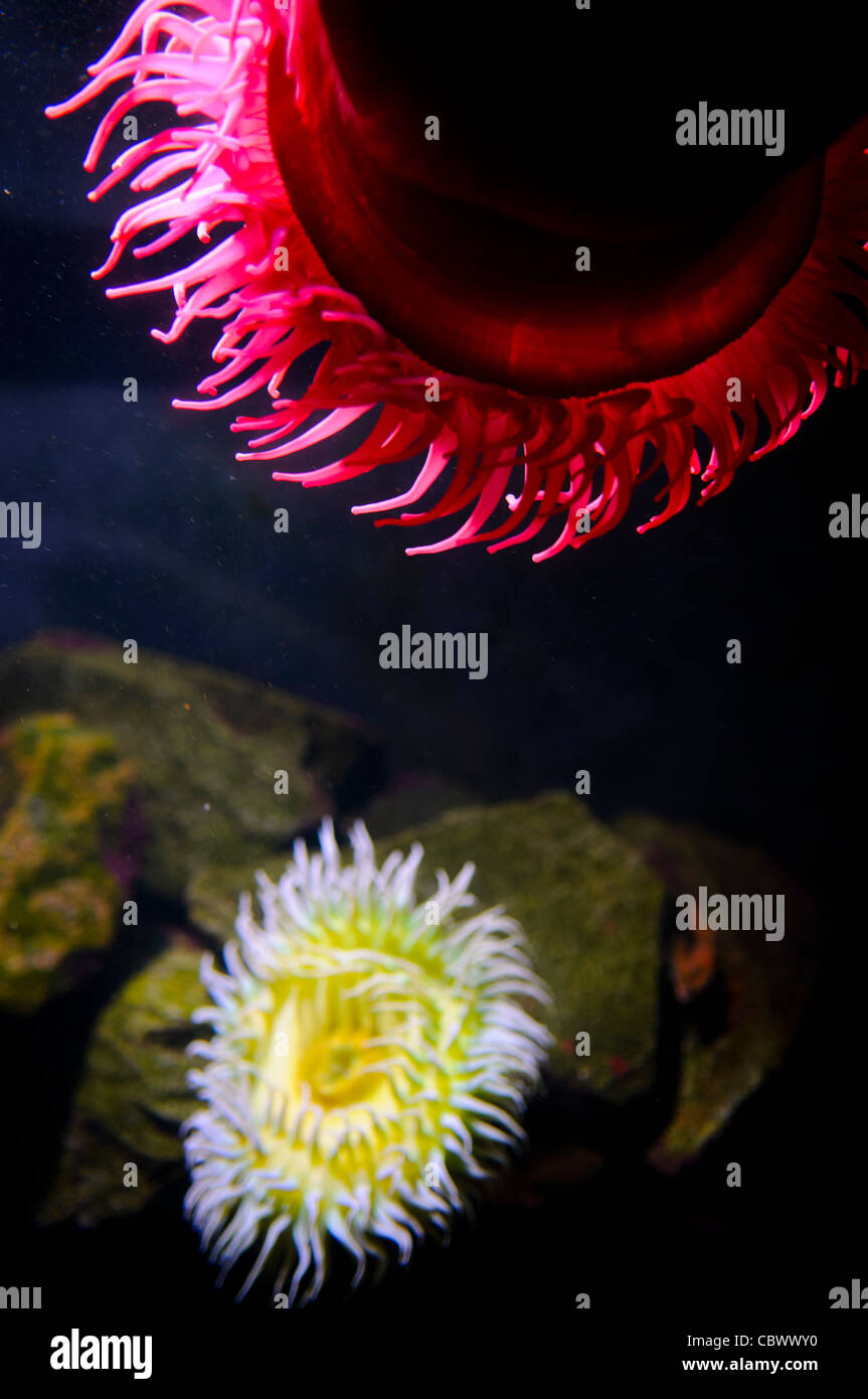 Brightly colored sea anemones in an exhibit at Washington DC\'s Stock ...