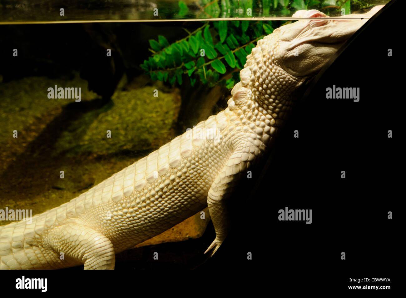 WASHINGTON DC, USA - A rare albino alligator named Oleander on display at the National Aquarium in downtown Washington - Stock Image