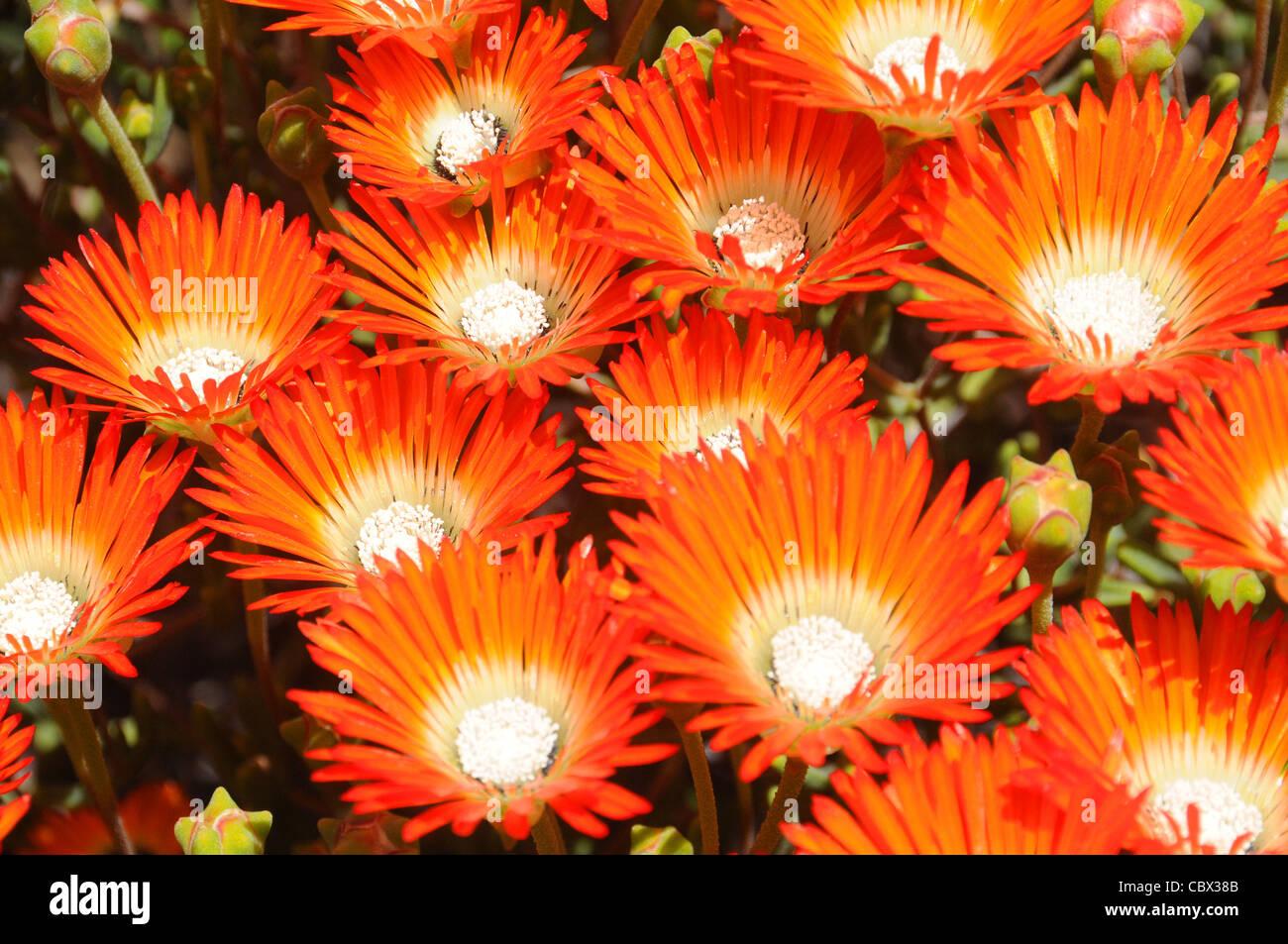 Deep orange vygie Lampranthus aurantiacus flowering profusely after good rains in the semi-desert karoo, South Africa - Stock Image