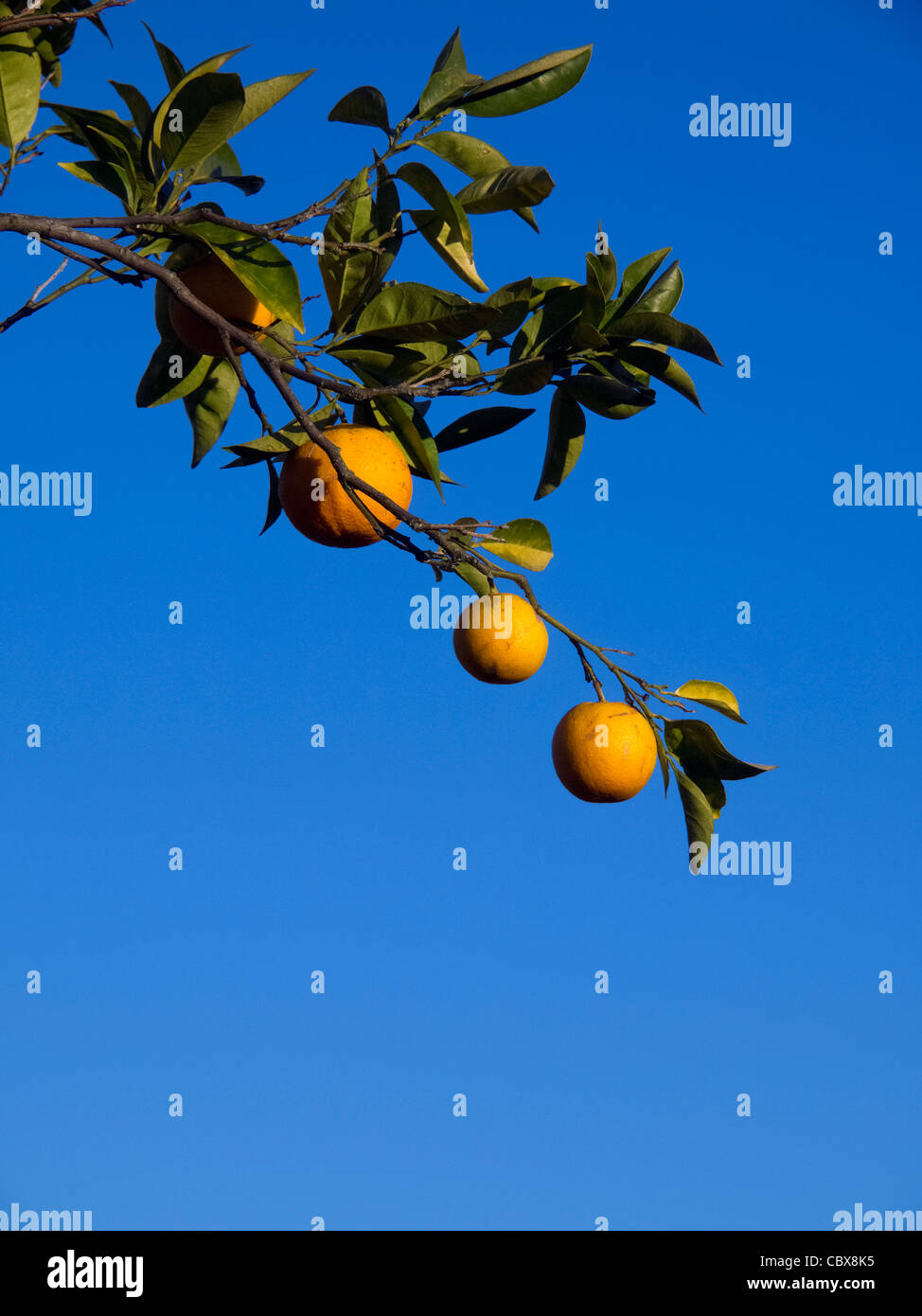 Ripe oranges in orange tree branch against a blue sky Stock Photo