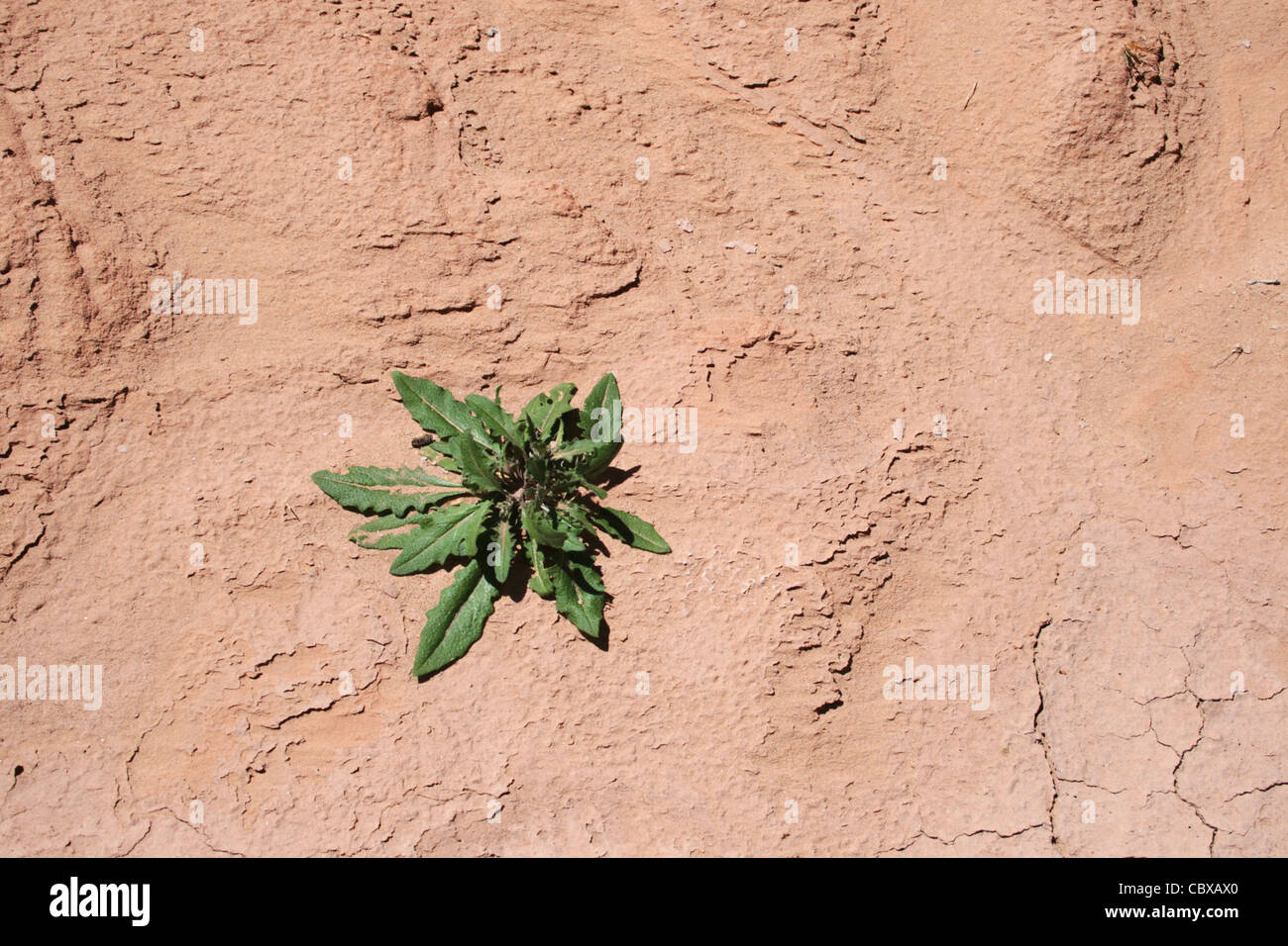 a single green plant growing on parched red soil - Stock Image