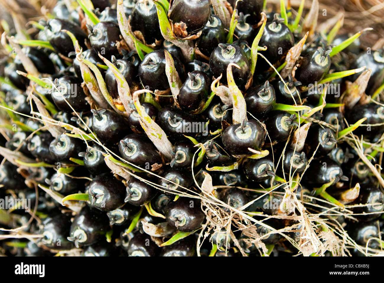 Close up Palm Oil Seeds on tree. Malaysia. - Stock Image