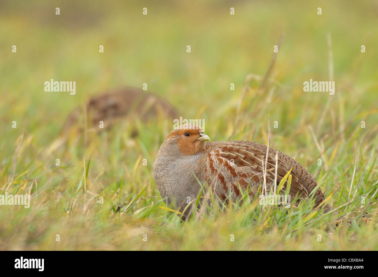 English or Grey Partridge(Perdix perdix) feeding in weedy field. - Stock Image